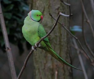 ring-necked-parakeet-1