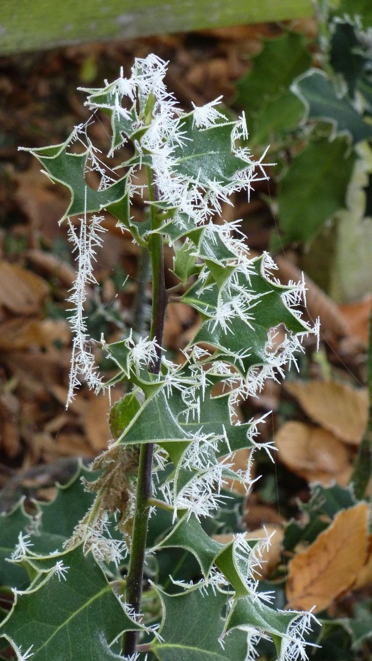 Spicules of ice on ivy.